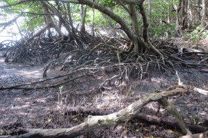These mangroves look like something from the Wizard of Oz