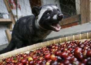 Asian Palm Civet and Coffee Cherries