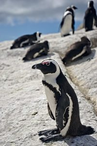 Penguins of Boulders Beach.